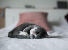 Chaton pelotonné dans le lit de son nouveau maître suite à son adoption